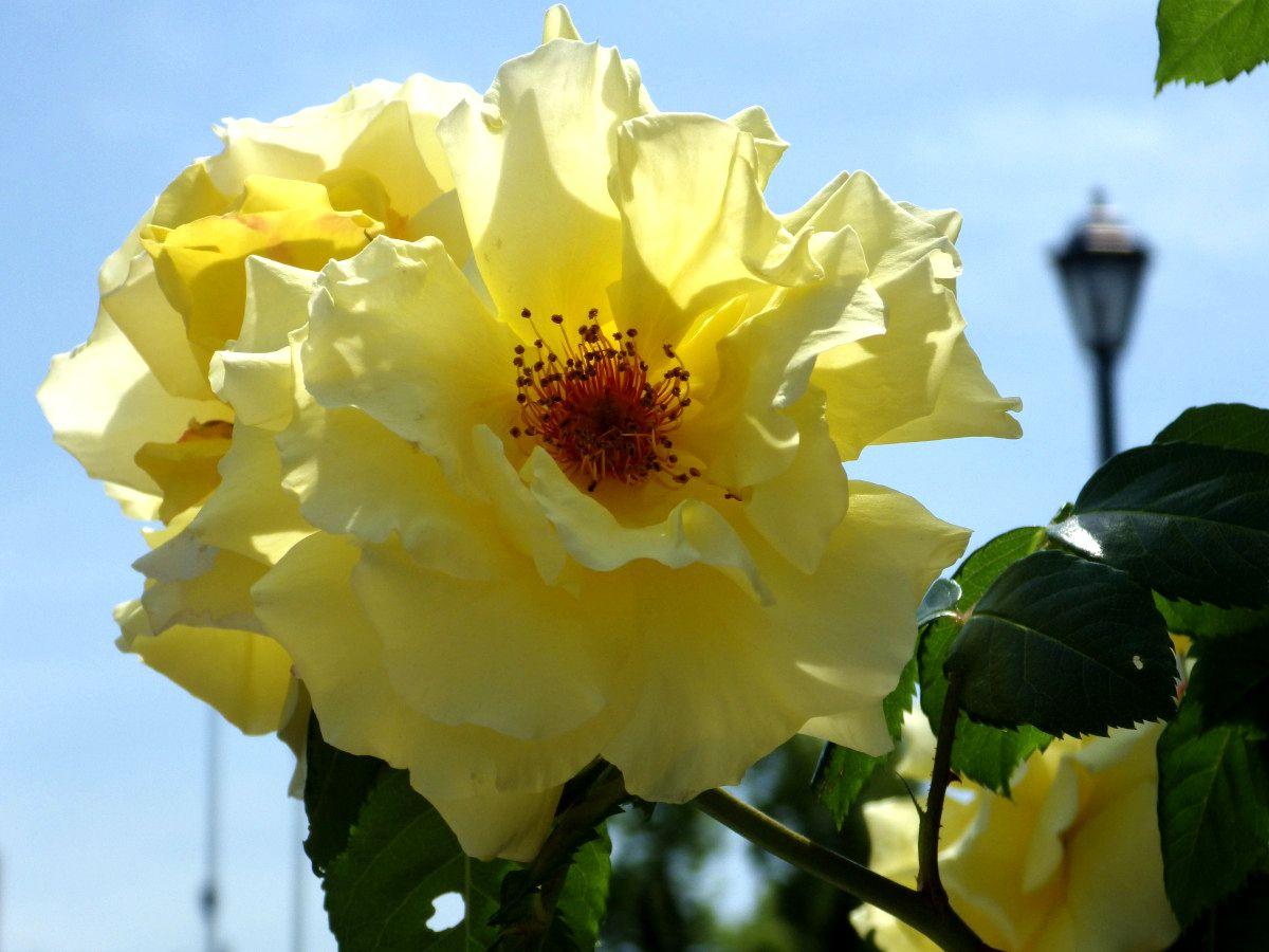 ⑪陽を受けた黄色いばら