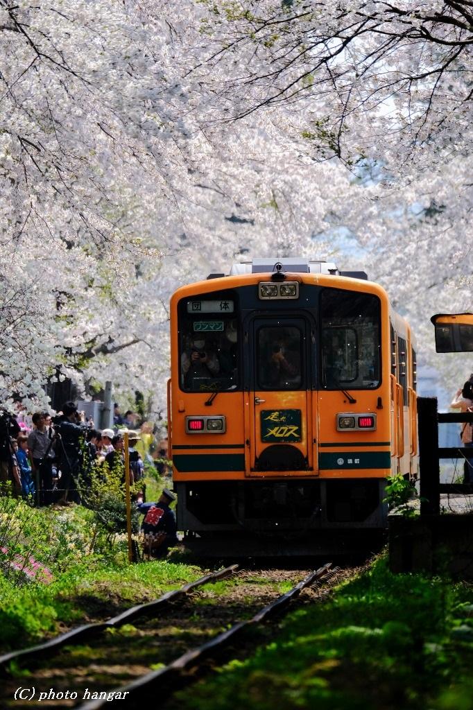 津軽鉄道 桜風景