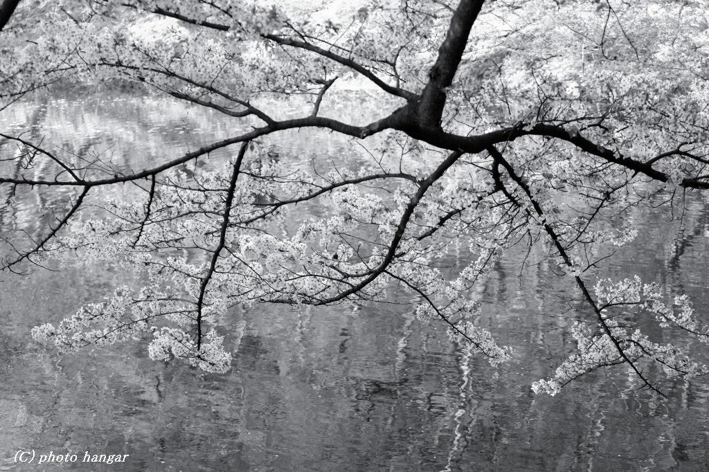桜アクセント