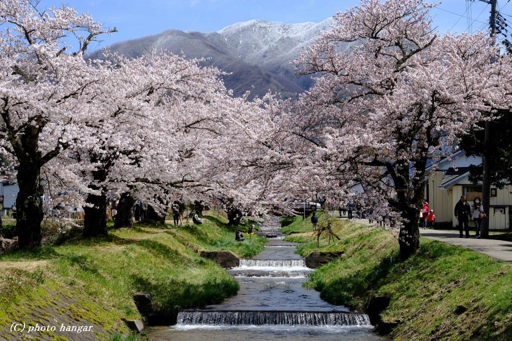 桜尽くし 観音寺川