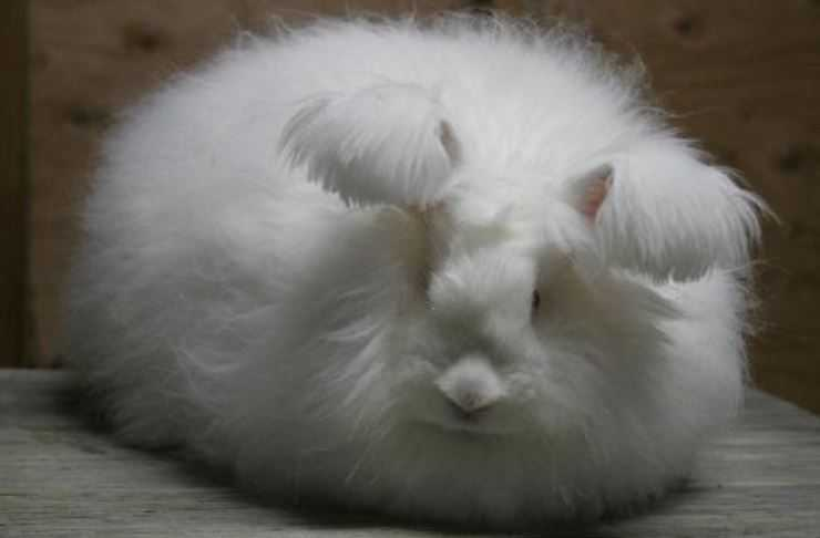 German-Angora-rabbits.jpg
