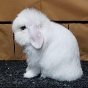 holland-lop-rabbit-leah-cheri-morales-em-900-300x300.jpg