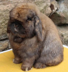 holland-lop-rabbit-murphy-bruno-283x300.jpg