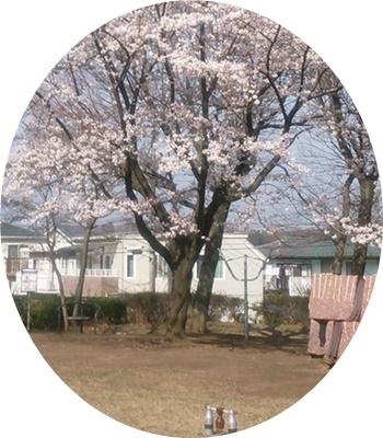 1 木球場桜満開でした②