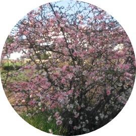 5 梅の花咲いたよ