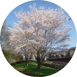 2 桜満開