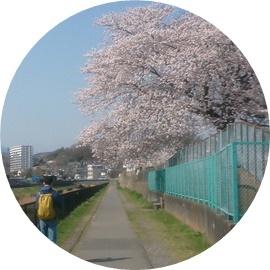 3 川沿いの桜