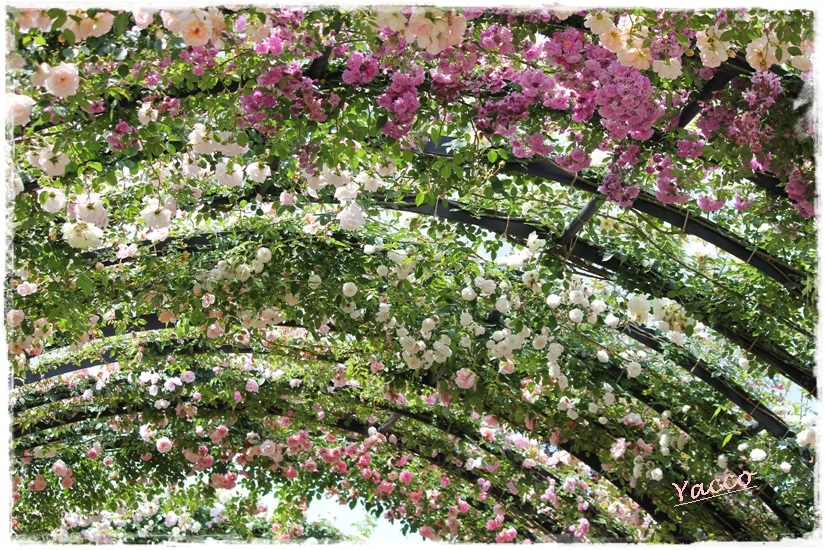 横浜イングリッシュガーデンのバラ 1