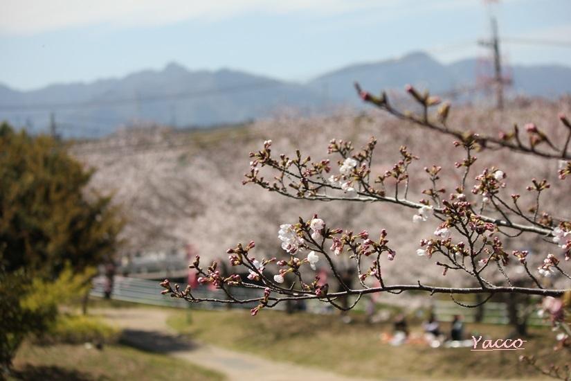両親と鹿化川千本桜へ
