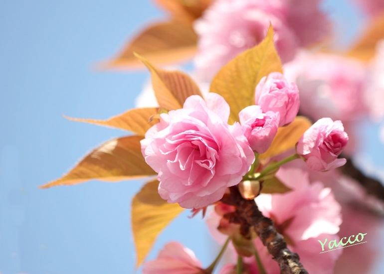 今年も近くの公園の八重桜に胸キュン♪