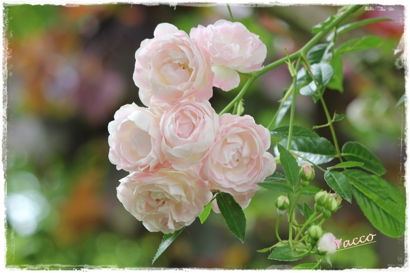 横浜イングリッシュガーデンのバラ 2