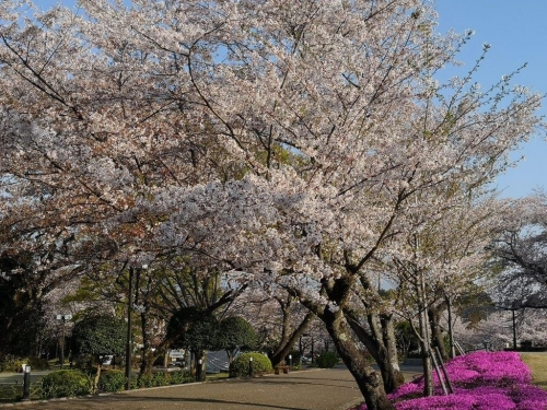 20190406桜3