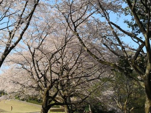 20190406桜5