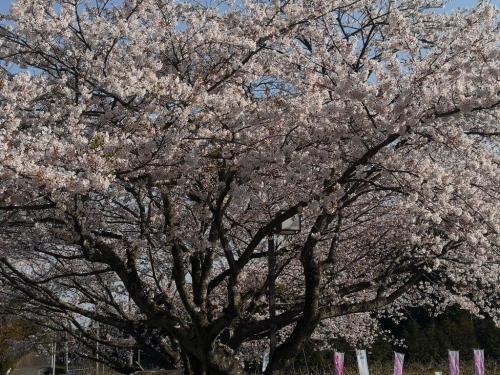 20190406桜6