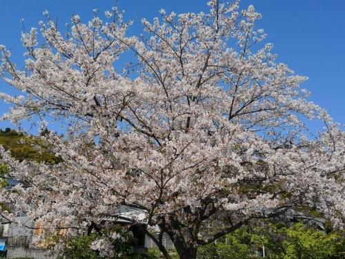 20190413桜3