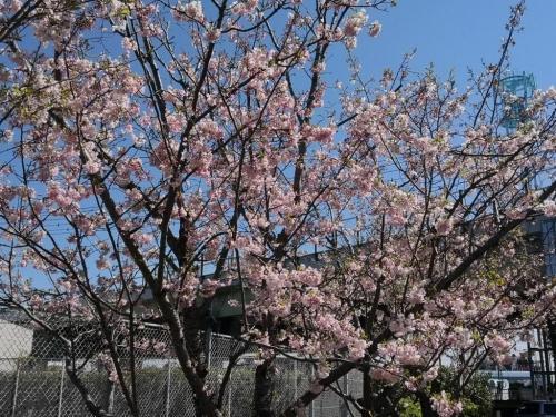 20190413桜4