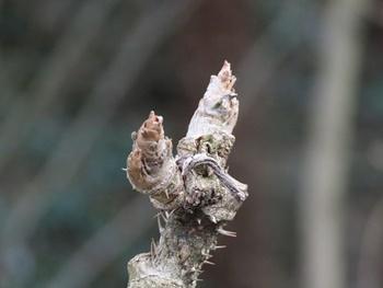 タラの芽は動物の顔