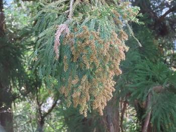 杉の花満開