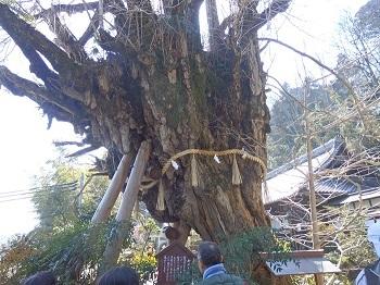 樹齢1600年銀杏