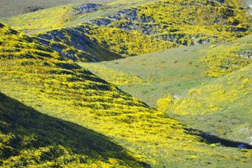 blog 2 Lost Hills on 46, Bitterwater Valley Road, Woolly Daisy ?, CA_DSC7005-3.16.19.jpg