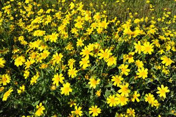 blog 2 Lost Hills on 46, Bitterwater Valley Road, Woolly Daisy ?, CA_DSC6997-3.16.19.jpg