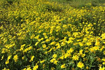 blog 2 Lost Hills on 46, Bitterwater Valley Road, Woolly Daisy ?, CA_DSC6993-3.16.19.jpg