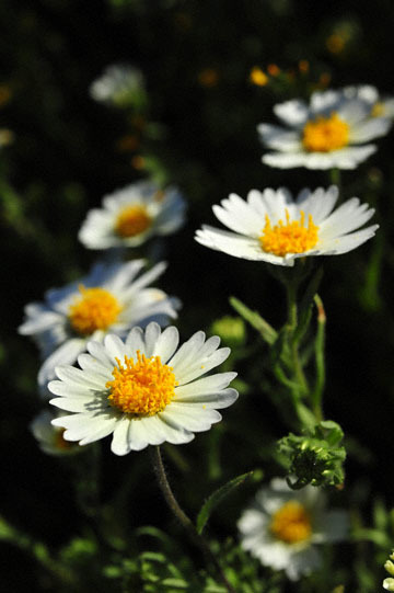blog 3 Taft, Carrizo Plain, Whitedaisy Tidytips (Layia glandulosa) & Rancher's Fiddleneck (Amsinckia intermedia), CA_DSC7071-3.17.19