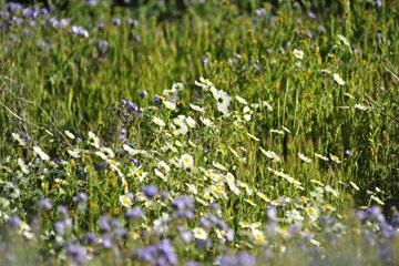 blog 3 Taft, Carrizo Plain, Whitedaisy Tidytips (Layia glandulosa), CA_DSC7052-3.17.19.jpg