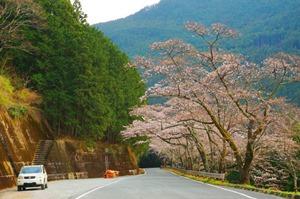 秋葉ダム 千本桜