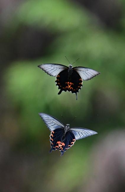 15228-クロアゲハ蝶