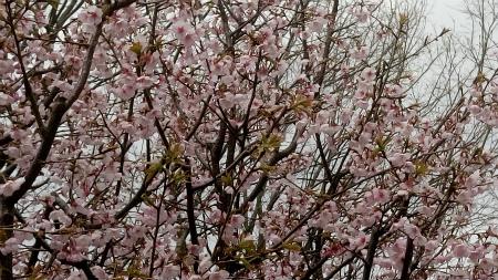 お墓参り3桜1