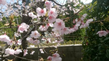 お墓参り4桜2