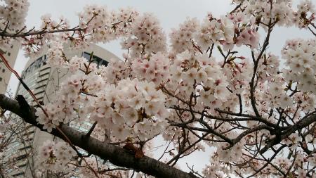 20190331桜之島公園3