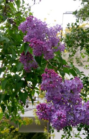 ライラック薄紫