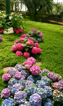 Wilhelmaの紫陽花