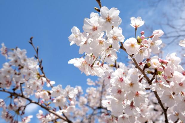 2019年4月・花見・桜・大阪城公園②