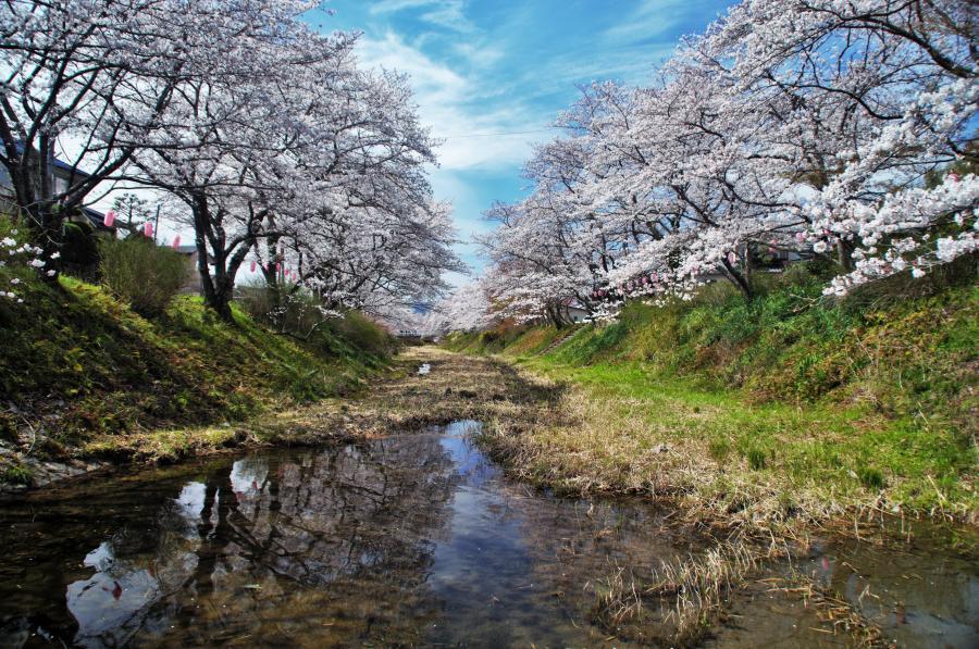 玉川の桜02