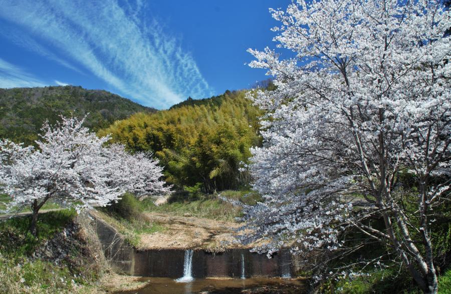 玉川の桜03