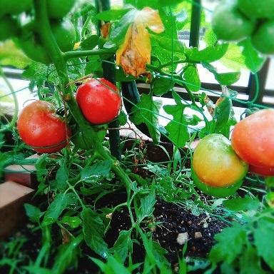 tomato20190615.jpg