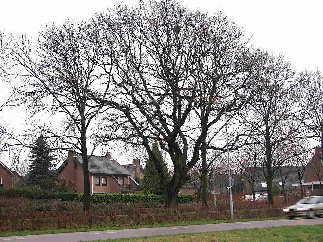 Quercus robur 001-2-6 冬姿