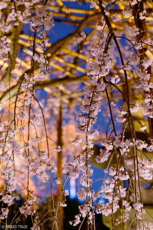 絶景探しの旅 - 0907 京都・清水の夜を彩る枝垂れ桜 (清水寺/京都市 東山区)
