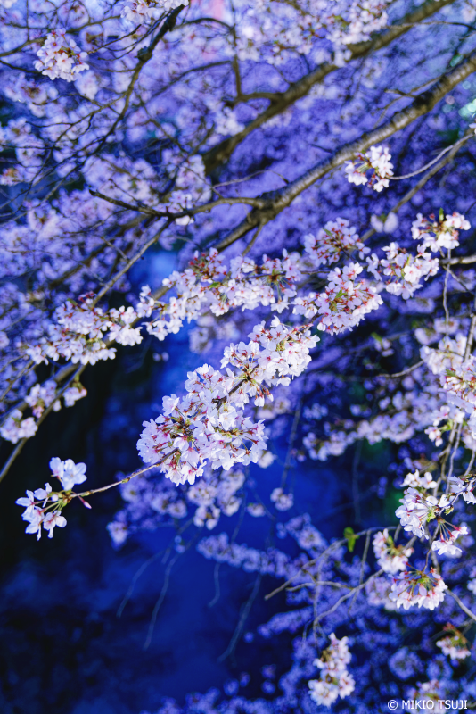 絶景探しの旅 - 0909 神田川の夜桜 (東京都 新宿区)