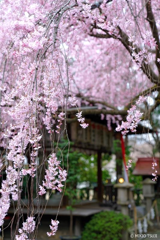 絶景探しの旅 - 0911 日本で最初の天満宮「水火天満宮」の枝垂れ桜 (京都市 上京区)
