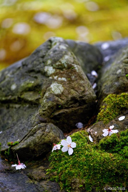 絶景探しの旅 - 0914 桜の落ち花 (本満寺 京都市 上京区)