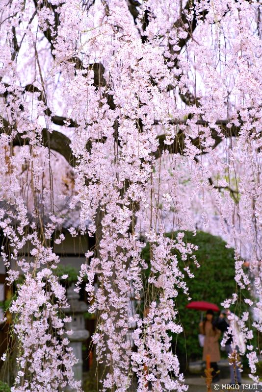 絶景探しの旅 - 0912 本満寺の大枝垂れ桜「祇園しだれ」 (京都市 上京区)