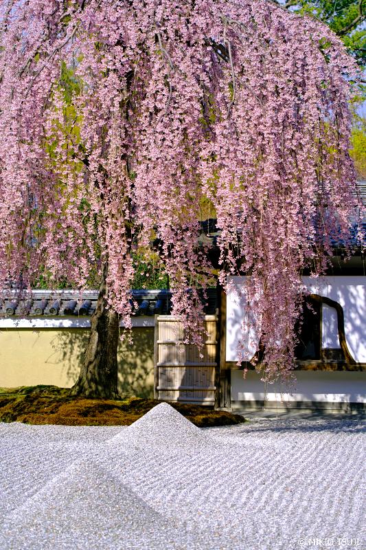 絶景探しの旅 - 0916 高台寺の枝垂れ桜の風景 (京都市 東山区)