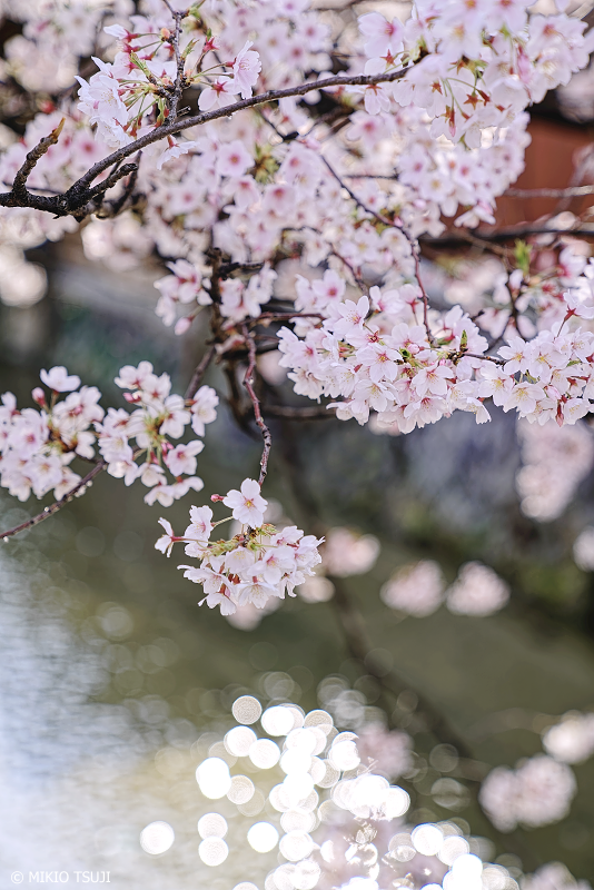 絶景探しの旅 - 0918 祇園白川にかかるソメイヨシノ (京都市 東山区)