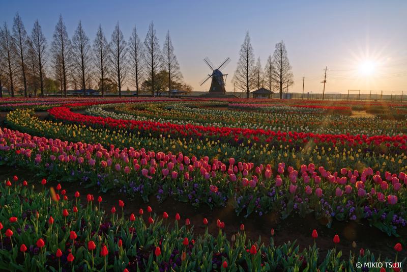 絶景探しの旅 - 0925 チューリップと風車の風景 (あけぼのの山農業公園/千葉県 柏市)