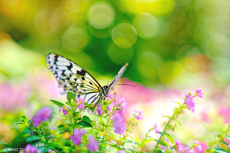 絶景探しの旅 - 0947 チョウの園 (ふれあい昆虫館/石川県 白山市)