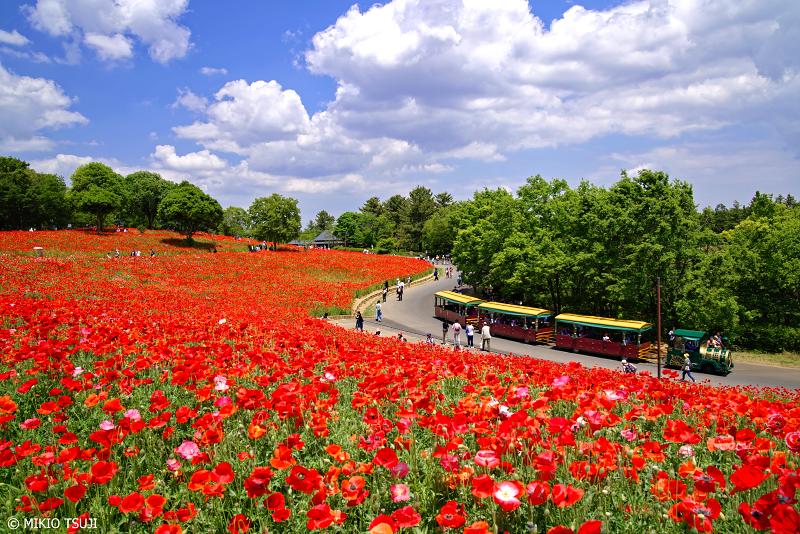 絶景探しの旅 - 0960 シャーレーポピーの赤い丘 (昭和記念公園/東京都 立川市)